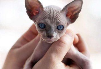 Kot orientalny krótkowłosy