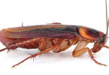 Protección contra las cucarachas. Los remedios caseros contra insectos dañinos