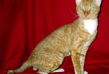Ural Rex: description de la nature, les soins. races rares de chats