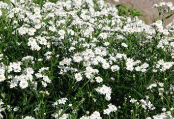 Achillea ptarmica: piantagione, la cura, i tipi, le qualifiche e le raccomandazioni per la coltivazione