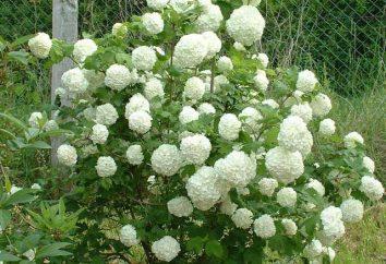 """Kalina """"buldenezh"""": piantagione e cura delle piante"""