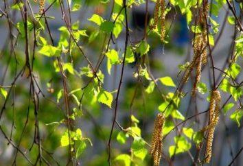 Liście brzozy: właściwości lecznicze, wykorzystanie i przeciwwskazania. Jak przydatne liści brzozy?