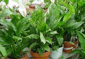 Anthurium: Pflege von Pflanzen