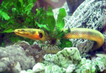 Ryba-wąż, lub reedfish Calabar: treść i zdjęcia