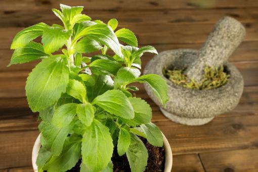 Stevia sustituto del azúcar  edulcorantes naturales