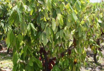 Czekolada Drzewo: zdjęcia i opis. Gdzie czekolada drzewo rośnie?