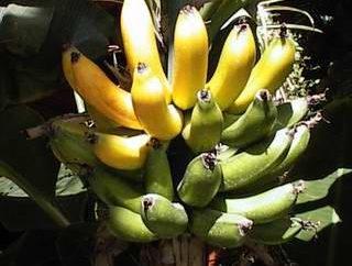 Jakie są korzyści z bananów na ciało