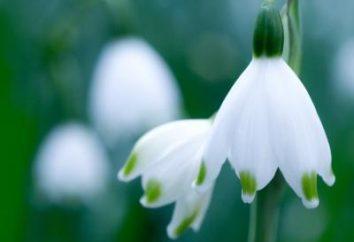 Donde hay campanillas de invierno y lo extraordinario estas flores