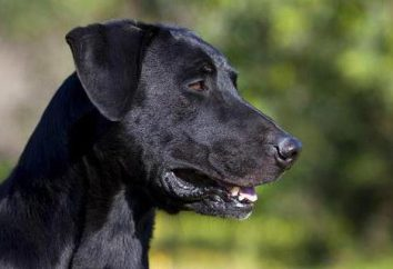 Majorque Shepherd Dog (Ca de Bestiaire): description de la race, le caractère