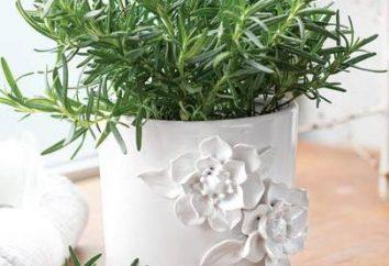 Rosemary est à la maison: la culture et de soins. Comment cultiver le romarin dans la maison?