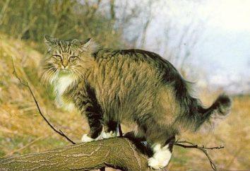 Norweski Leśny – domator potomek dzikich zwierząt w lesie