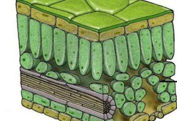 Avilable tessuti colonnari: rapporto tra struttura e funzione