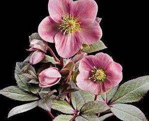 Fiore con fiori rosa: la bellezza nel bouquet e su aiuola