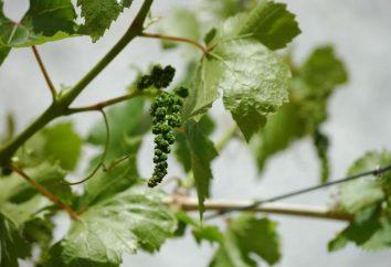 Préparer des raisins pour l'hiver dans l'Oural: ce qu'il faut faire à la vigne ne sont pas détruits par le gel