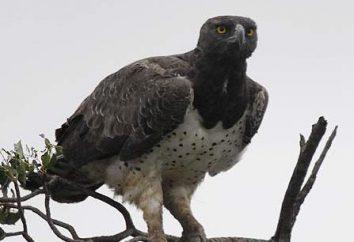 Eagle dystansu: opis wyglądu, zachowania i sposób życia drapieżnika