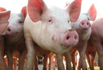 Jak jest kojarzenie świń?