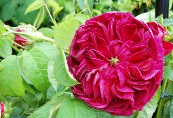Rosa de Damasco. Damasco aceite de rosa: la aplicación