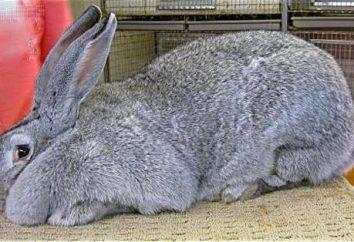 Lapin géant gris. lapins Race: Description et photos