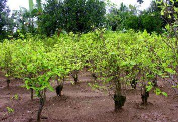 Qual é a planta de coca? Coca-arbusto: onde cresce, descrição
