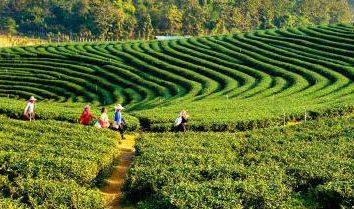 Darjeeling (té): descripción, variedades, el método de preparar una bebida