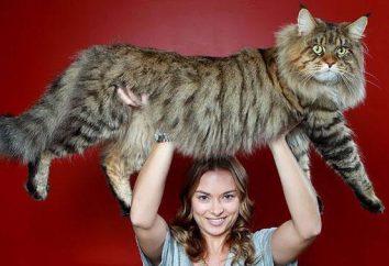Wszystkie rasy kotów: opis i charakter