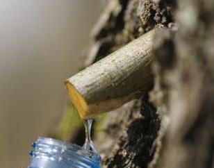 Comment jeter une sève de bouleau? La récolte de la sève de bouleau en hiver