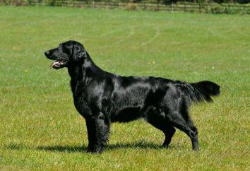 Labrador Retriever rasy, charakter i pielęgnacja