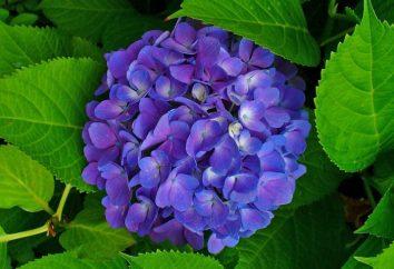 Hydrangea macrophylla: préparation pour l'hiver et l'élagage. Abri pour l'hiver hortensia