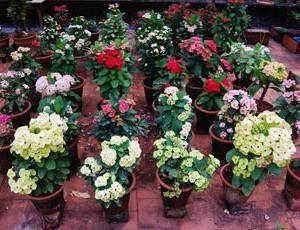 Euphorbia Mile: Pflege und Zuchtbedingungen