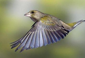 Verdone – dell'uccello della foresta