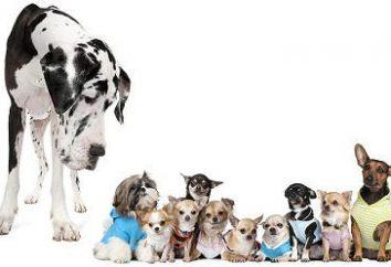 Małe Rasy psów: Cechy konserwacji i pielęgnacji