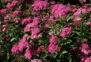 Spirea bumalda – arbusto appariscente