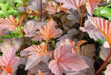 Kalinolistny Physocarpus Lady Red John