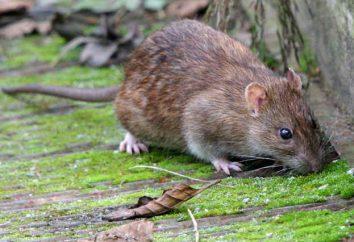 livre de rêve. Pourquoi rêver d'un rat?