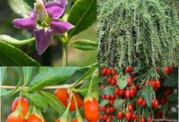Bacche di Goji: piantagione e cura, coltivazione, proprietà e caratteristiche utili