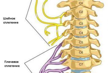 splot szyjny i jego oddziałów: struktura i funkcja