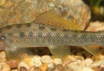 Bachforelle – Fisch unsere Gewässer