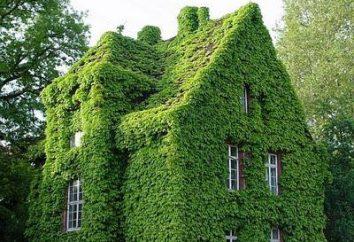 chambre intérieure Ivy. lierre Houseplant (photo)