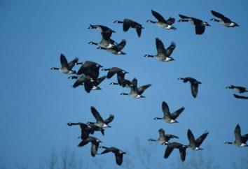 La faune. Que les oiseaux s'envoler à l'automne à des climats plus chauds?