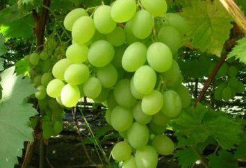Opis odmiany Present Zaporożu. winogrona stołowe