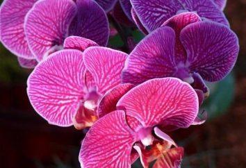 beauté Graceful d'orchidées: les soins à la maison. Phalaenopsis