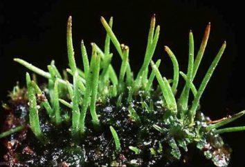Las clases básicas y especies de musgo: semejanzas y diferencias