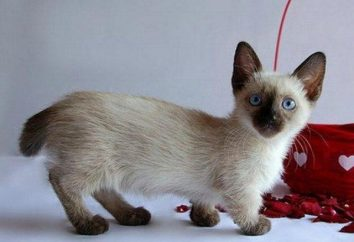 Munchkin lub zaniżone koty