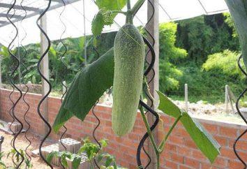 La creciente pepinos en invernaderos durante todo el año como un negocio