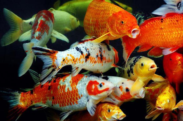 Stagno di pesci tipi nomi foto for Pesci da stagno