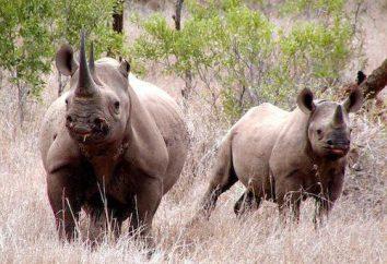 La corne de rhinocéros – la raison de sa destruction