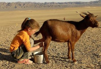 Harm i korzyści z koziego mleka dla dziecka. Mleka koziego: korzyści i szkody, przeciwwskazania