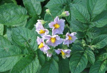 ¿Es necesario recoger las flores de las patatas o no?
