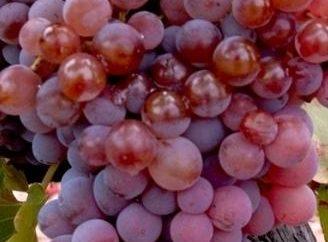 Uva russo presto – una delle migliori varietà di uva da tavola