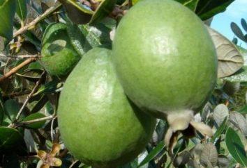 Frutta esotica feijoa. proprietà utili e controindicazioni